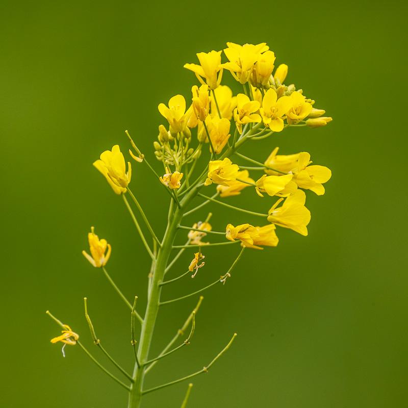 IMAGE: http://www.lj3.com/1dx2/Mustard.jpg