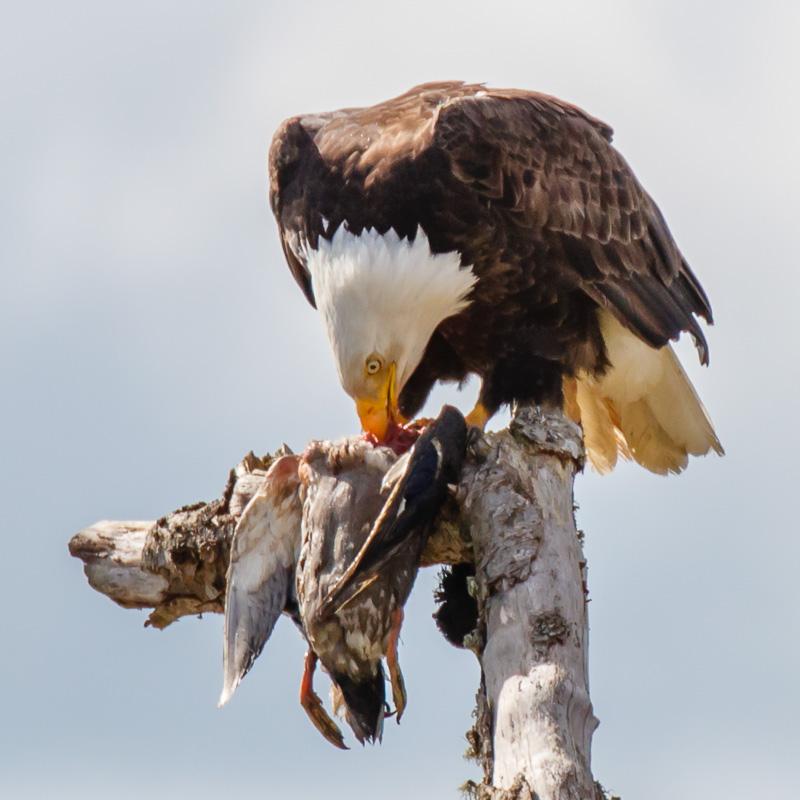 IMAGE: http://www.lj3.com/1dx2/eagle_3.jpg