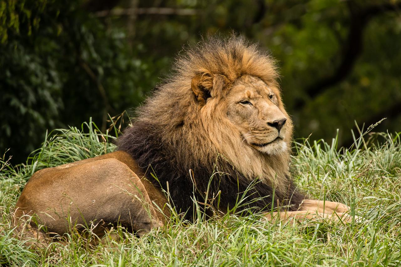 IMAGE: http://www.lj3.com/1dx2/lion_lr.jpg