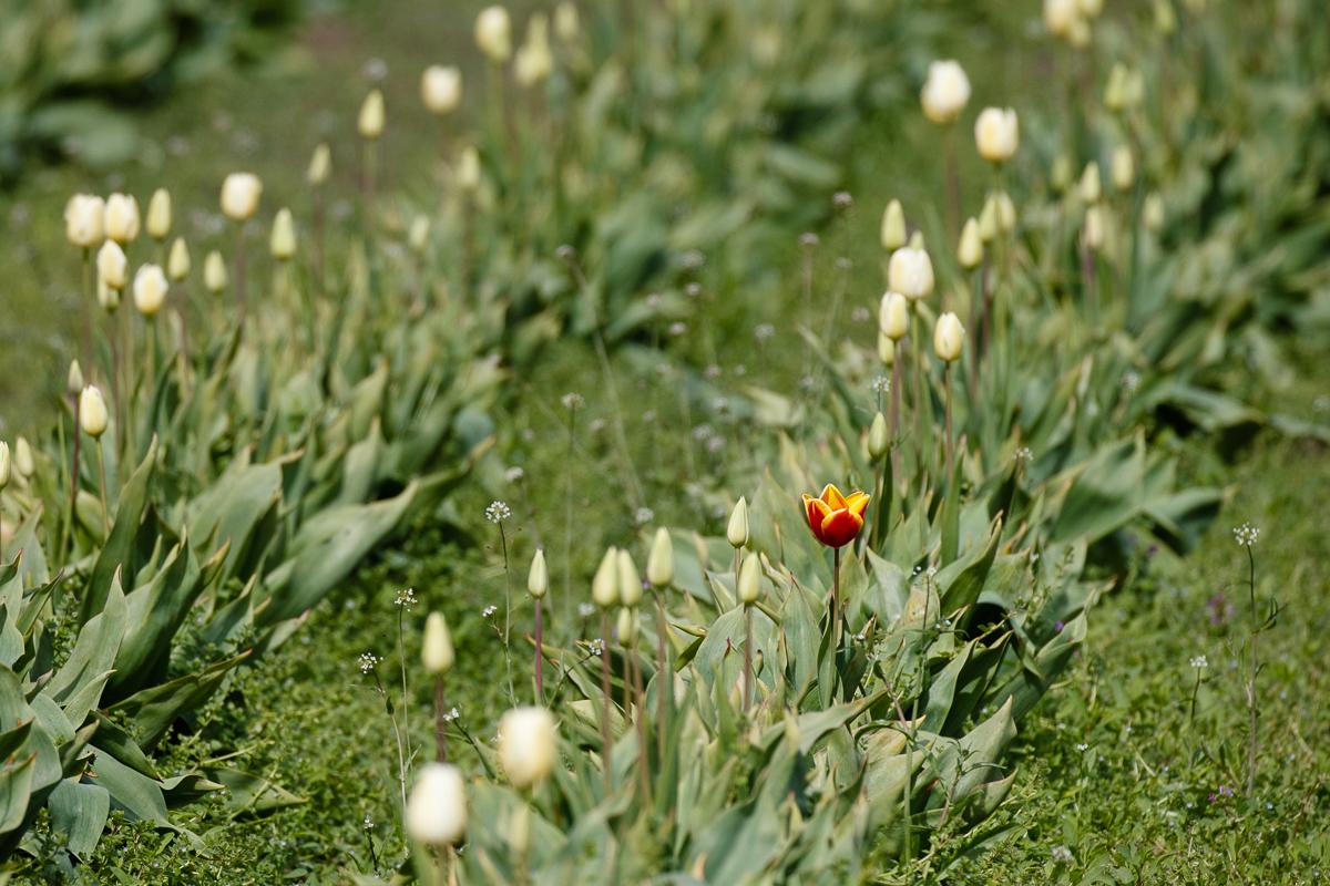 IMAGE: http://www.lj3.com/1dx2/tulips_1dx2_1.jpg