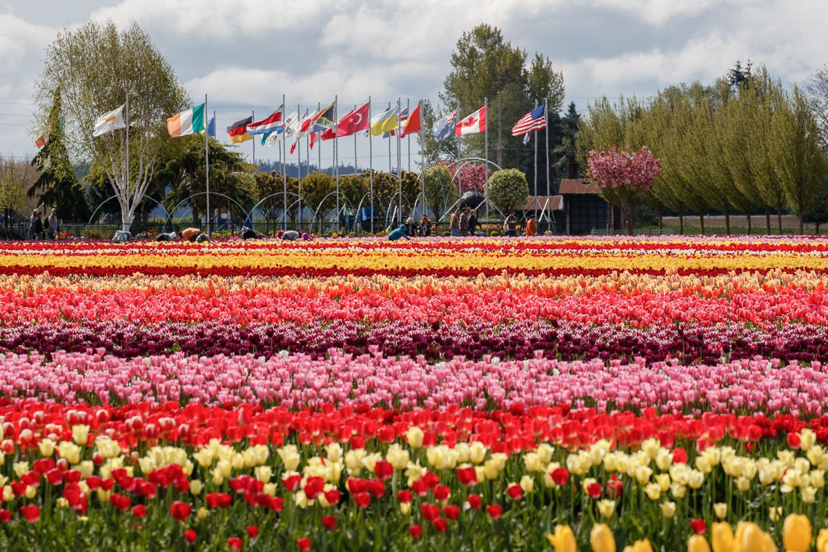 IMAGE: http://www.lj3.com/1dx2/tulips_1dx2_2.jpg