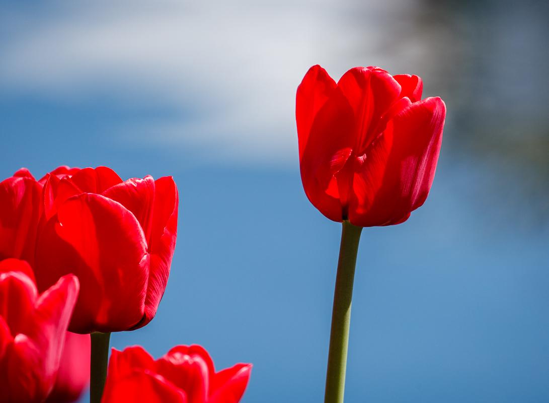 IMAGE: http://www.lj3.com/1dx2/tulips_1dx2_6.jpg