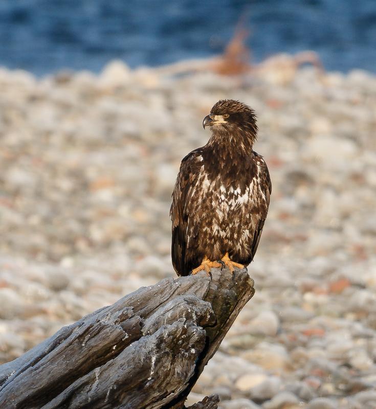 IMAGE: http://www.lj3.com/misc/eagle_300.jpg
