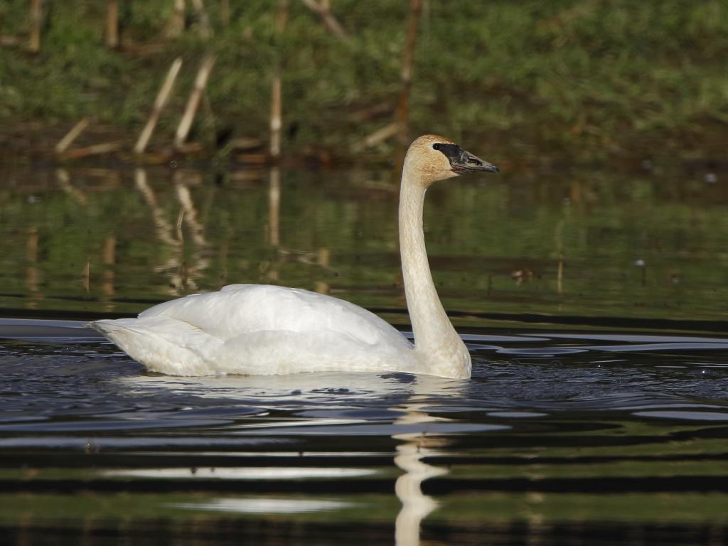 IMAGE: http://www.lj3.com/misc/trumpeterwater.jpg